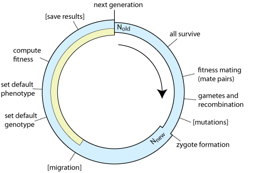 Mimicree2 wiki manual the width of the blue arc indicates the population size the new population size nnew will be adjusted after zygote formation events in square brackets ccuart Choice Image